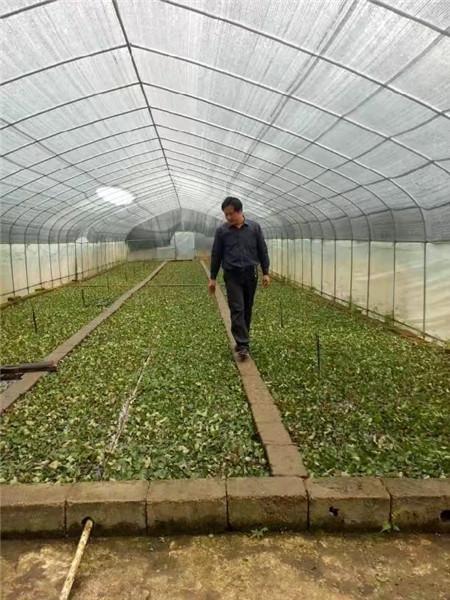 植物快繁技术教学-桂林黑老虎苗-八月瓜