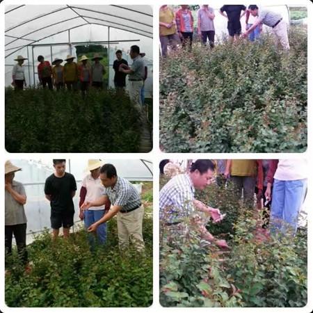 黑老虎苗&梅州各种造型树供应&紫薇造型