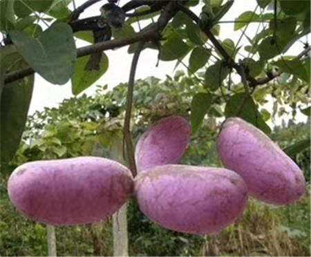 植物造型教学―桂林山野水果布福娜―最新山野水果布福娜
