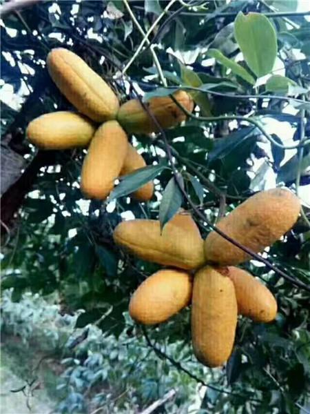 布福娜苗―防城港山野水果布福娜―造型树