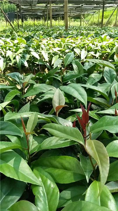 最新山野水果布福娜―河池植物快繁技术教学―布福娜苗