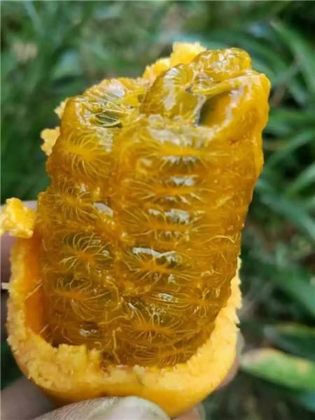 最新山野水果布福娜―来宾植物快繁技术教学―布福娜苗