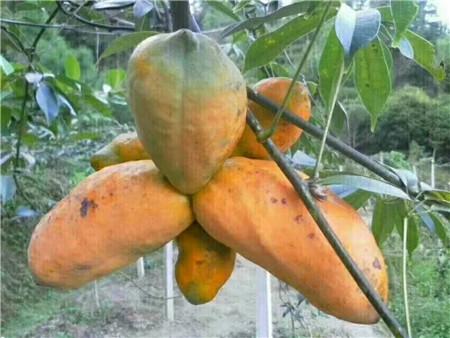 八月瓜苗―贺州植物造型教学―最新山野水果布福娜