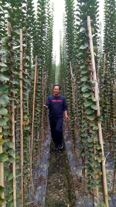 湖北供应造型紫薇 湖北供应造型树