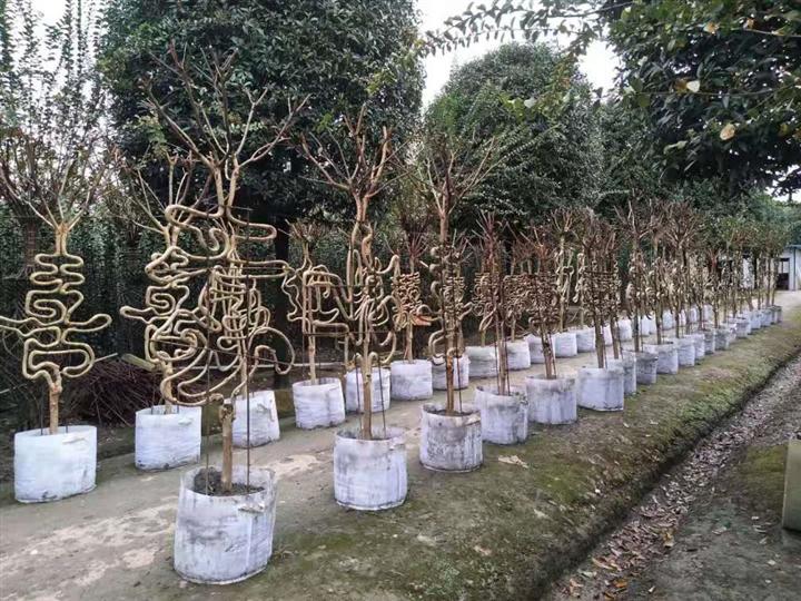 桂林哪里有造型树【紫薇造型字】