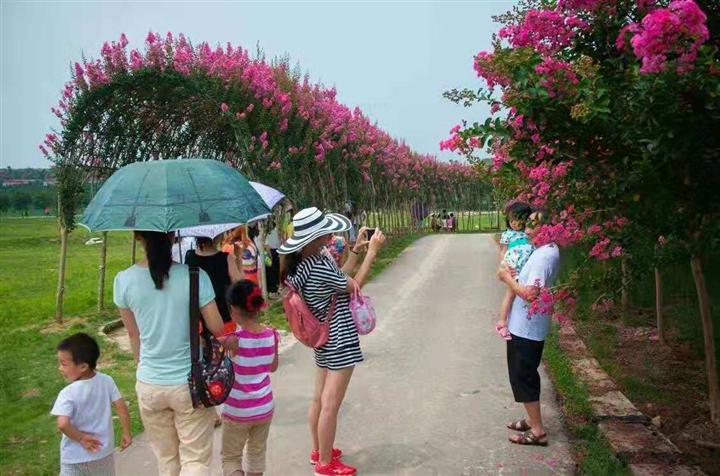 桂林哪里有造型树&哪里有紫薇造型花瓶【哪里有园林造型树】