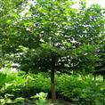 山东法桐价格/山东大片法桐绿化苗木种植基地