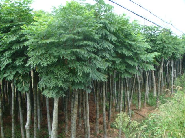 山东栾树供应/山东优质栾树苗木种植技术指导
