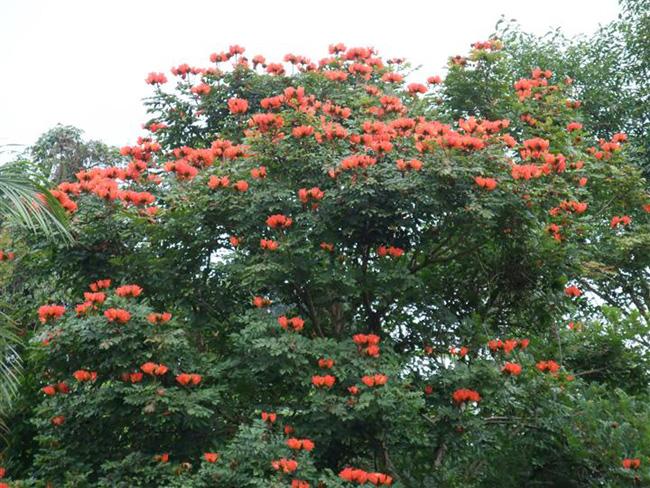山东合欢供应/山东长期供应优质合欢绿化苗木