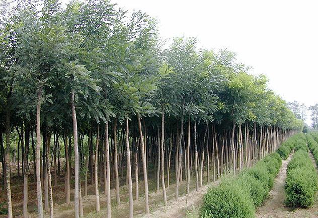 山东毛白杨/山东毛白杨苗木种植技术指导