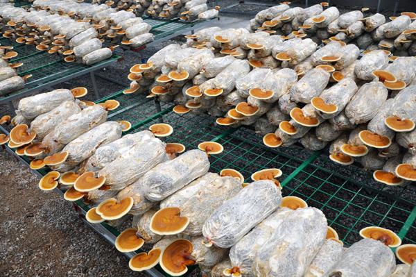 食�用�`芝菌�N �`芝菌包