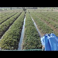 草莓種植技術培訓基地