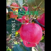 红太平真实照-黑龙江红太平苹果苗