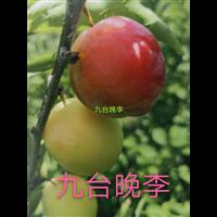 黑龙江九台晚李苗
