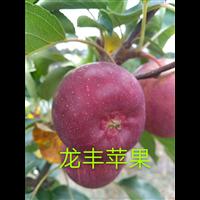 黑龙江龙丰苹果苗