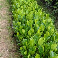 廣西柳州批發優質菠蘿蜜苗